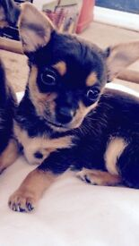 Tiny male teacup chihuahua puppy