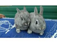 Several rabbits for sale ready now