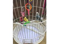 2 budgies with a cage and accessories and food