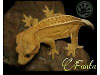 Gecko crested adult