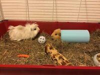 2 friendly male guinea pigs