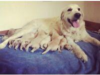 Golden Retriever Puppies for sale ! ! ! ! !
