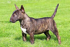 Im looking for a miniature female bull terrier puppy