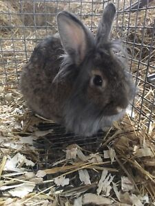 Lion head male rabbits