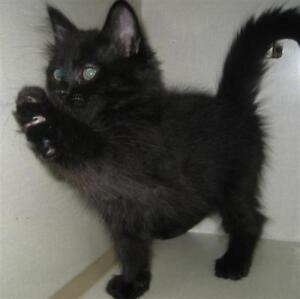 "Baby Male Cat - Domestic Medium Hair: ""Sammy"""