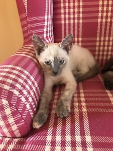 Siamese kittens ready now!!