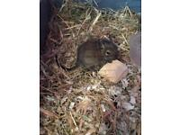Beautiful baby degus 16 weeks - £35 a pair