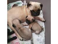 Pug puppy kc reg female
