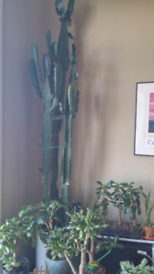Gorgeous huge cactus house plant, 6 feet tall