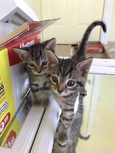 2 male kittens FREE to good home