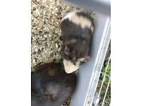 Male guinea pig just under a year