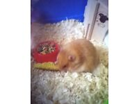 FROME somerset Long haired Syrian hamster and Large Barney hamster 100 x 54 x 45 cm (L x W x H)