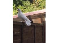 Fantail Pigeon for sale £25