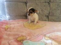 Jackawawa pup
