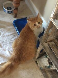 Long hair orange ragdoll cat