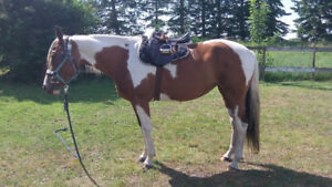 5 Yr old Paint Mare