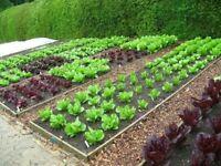 baby veg plants forsale 3 types of cabbage, cauliflower, purple broccoli, suede