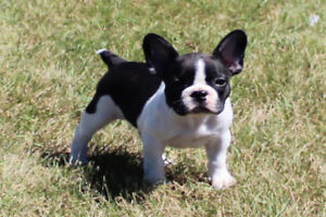 Beautiful French Bulldog puppies ready to go now