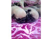 Pug puppys four girls two boys