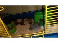 3x Dwarf Hamsters