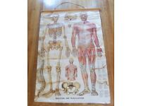 1974 Vintage Anatomical Skeleton and Musculature School Poster - EP Limited