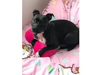 Staffordshire bull terrier 12 month male still very much a pup