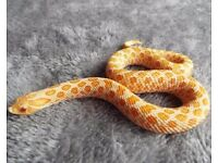 albino western hognose female