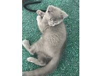Adorable British Blue Pedigree Kittens Females £350.00 each. Ready for new home Now!