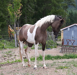 Grulla 3/4 Arabian Pinto Filly 14.3-15h