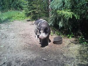 Really Nice Boar for sale or lease