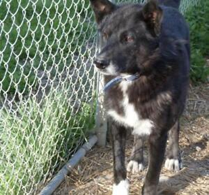 "Adult Male Dog - Husky-Shepherd: ""Blue"""