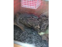 Bosc monitor lizard, 6 months old and set up
