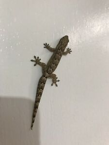 Mourning gecko babies!