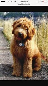 Looking for a Labradoodle or Goldendoodle