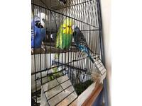exhibition Budgies male and female for sale