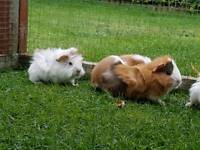 3 Baby Boy Guinea pigs for sale