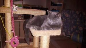 """Young Male Cat - Russian Blue: """"Guizmo"""""""