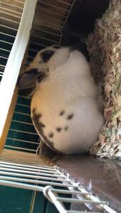 White and Grey Dwarf Bunny
