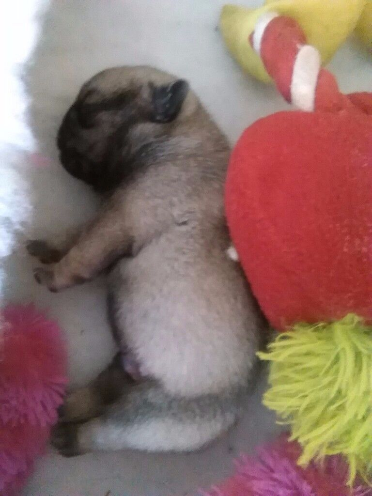 KC registered Pug puppies for sale Warrington Cheshire