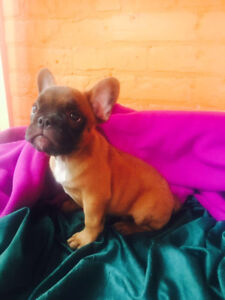 Cute frenchies for sale