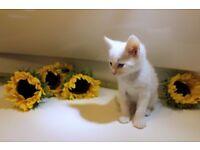 White kitten for sale_Edinburgh