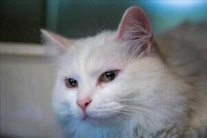 "Adult Female Cat - Domestic Long Hair: ""Bee"""