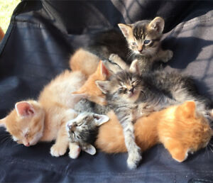 Baby Kittens - Ready for a good home $125 each