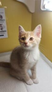 "Baby Male Cat - Domestic Short Hair: ""Ben"""