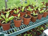 Our organic lettuces are only £1.99 a pot. Free London delivery on 8 pots or more.