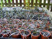 Black Ornamental Grass Plants Ophiopogon Planiscapus Nigrescens
