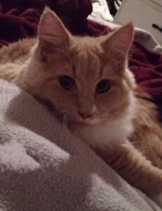 Lost cat in Hunter River $100.00 reward for his safe return