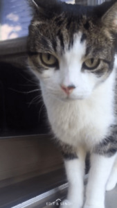Dior - Lost Male Cat - Brown Tabby with White Shorthair