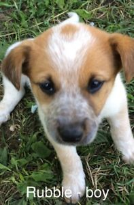 Red Heeler/collie/lab puppies