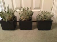 Indoor cactus in matching decorative black square pots X 3